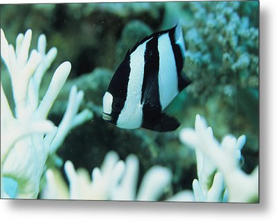 A Humbug Dascyllus Fish Swims Metal Print by Tim Laman