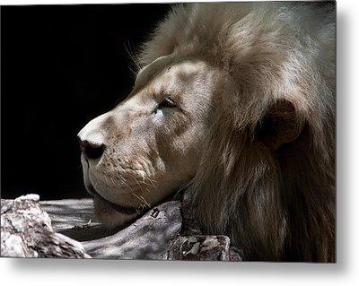 A Lions Portrait Metal Print by Ralf Kaiser