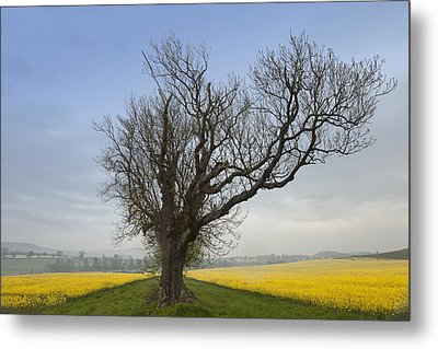 A Lone Tree On The Edge Of A Yellow Metal Print by John Short