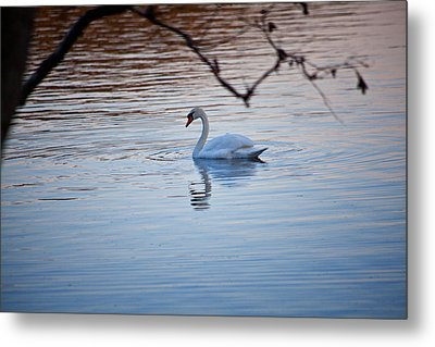 A Lonely Swans Late Afternoon Metal Print by Karol Livote