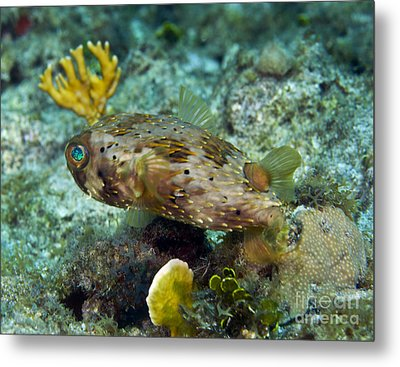 A Long-spined Porcupinefish, Key Largo Metal Print