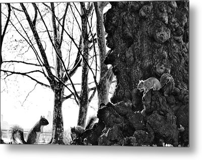 A Meeting Of Squirrels Metal Print by Bill Cannon