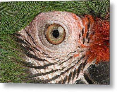 A Military Macaw Ara Ambiguus Metal Print by Joel Sartore