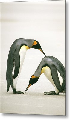 A Pair Of King Penguins In A Courtship Metal Print by Ralph Lee Hopkins