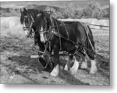A Pair Of Shire Horses Metal Print by Fran Riley