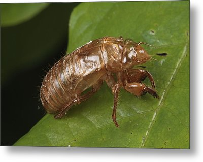 A Periodical Cicada Exoskeleton Metal Print by George Grall