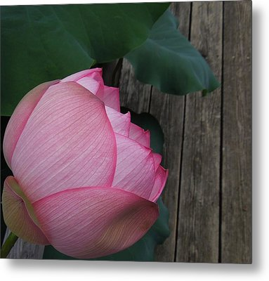 A Pink Lotus Flower Metal Print by Chad and Stacey Hall
