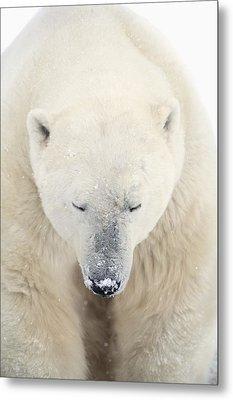 A Polar Bear Ursus Maritimus Resting Metal Print by Richard Wear