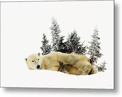 A Polar Bear Ursus Maritimus Metal Print by Richard Wear