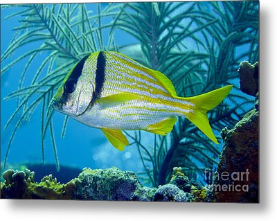 A Porkfish Swims By Sea Plumes Metal Print by Terry Moore
