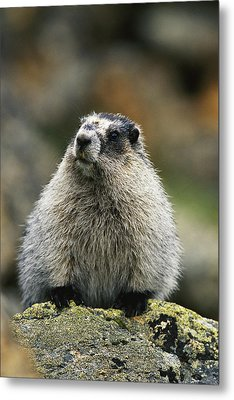 A Portrait Of A Hoary Marmot Sitting Metal Print by Michael S. Quinton