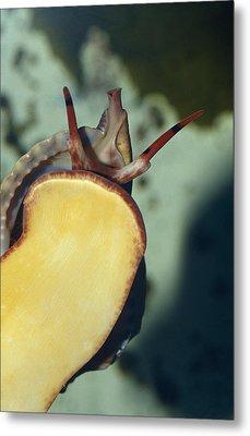 A Red Lip Triton Snail Charonia Metal Print by Jason Edwards
