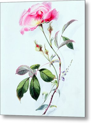 A Rose Metal Print by James Holland