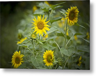 A Row Of Bright Yellow Sunflowers Grow Metal Print by Hannele Lahti