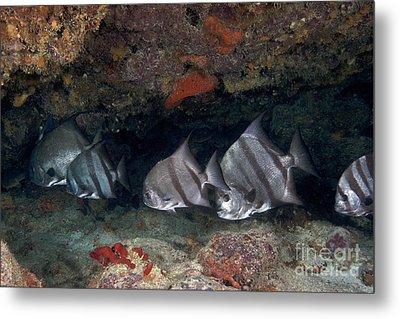 A School Of Atlantic Spadefish Metal Print