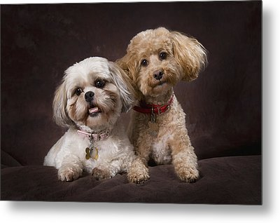 A Shihtzu And A Poodle On A Brown Metal Print by Corey Hochachka
