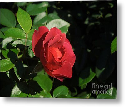 A Single Burgundy Rose Metal Print by Chad and Stacey Hall