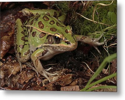A Southern Leopard Frog Pauses In Leaf Metal Print by George Grall