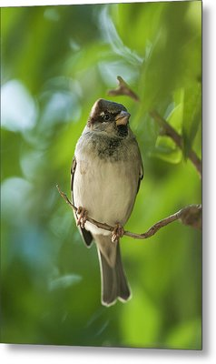 A Sparrow Perched On A Small Branch Metal Print by Ben Welsh
