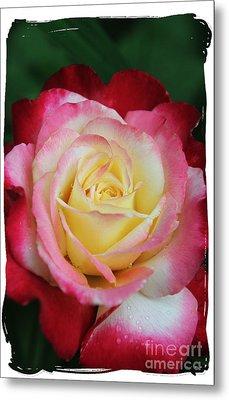 A Special Rose Metal Print by Lori Mellen-Pagliaro