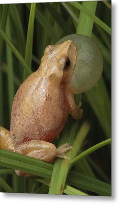 A Spring Peeper Calls For A Mate Metal Print by George Grall