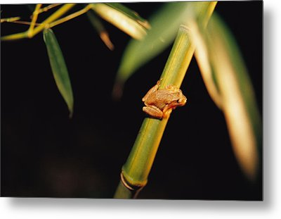 A Spring Peeper Frog Perches Metal Print by Raymond Gehman