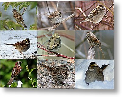 A Study In Sparrows Metal Print