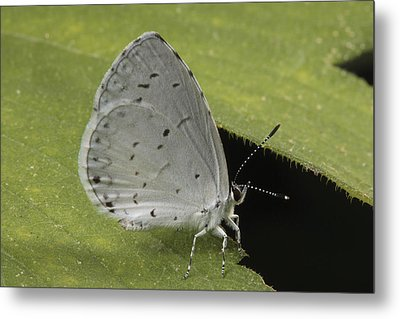A Summer Azure Lights On A Leaf Metal Print by George Grall