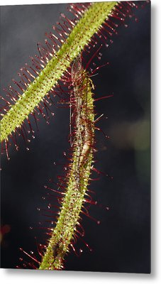 A Sundew Carnivourous Plant, Drosera Metal Print by Jason Edwards