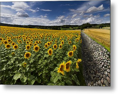 A Sunny Sunflower Day Metal Print by Debra and Dave Vanderlaan