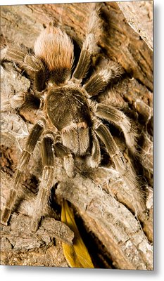 A Tarantula Living In Mangrove Forest Metal Print by Tim Laman