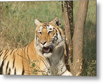 A Tiger Lying Casually But Fully Alert Metal Print