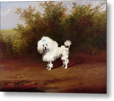A Toy Poodle In A Landscape  Metal Print by Frederick French