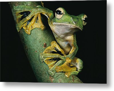 A Wallaces Flying Frog, Rhacophorus Metal Print