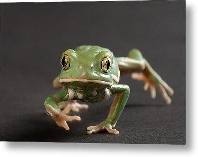 A Waxy Monkey Frog Phyllomedusa Metal Print by Joel Sartore