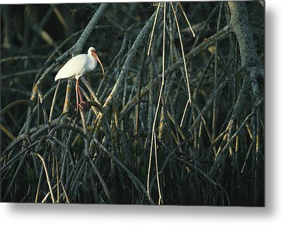 A White Ibis Perches On A Mangrove Tree Metal Print by Klaus Nigge