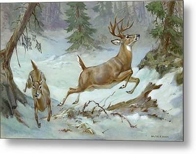 A White Tail Buck And Doe Flee Metal Print by Walter A. Weber