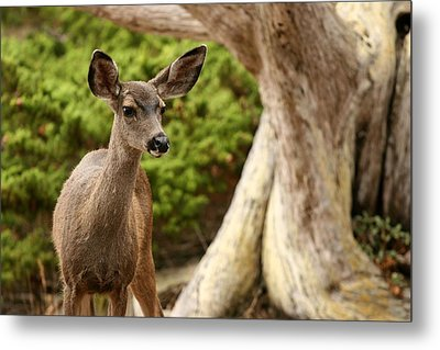 A Young Deer In A Grove Of Rare Metal Print by Charles Kogod