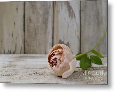 Abraham Darby Metal Print by Cindy Garber Iverson