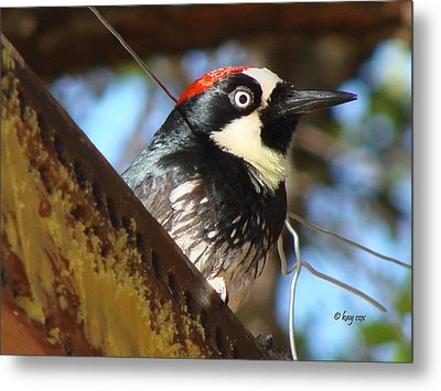 Metal Print featuring the photograph Acorn Woodpecker by Linda Cox