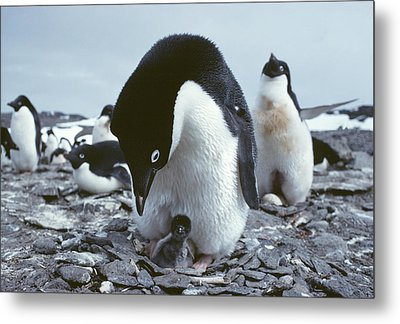 Adelie Penguin With Chick Metal Print by Doug Allan