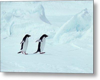 Adelie Penguins, Antarctica Metal Print