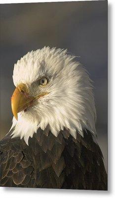 Adult Bald Eagle Metal Print by Michael S. Quinton