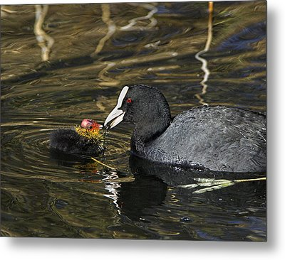 Adult Coot Feeding Its Chick Metal Print by Duncan Shaw