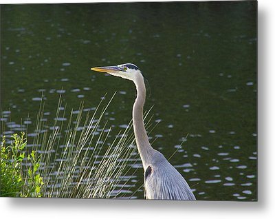 Metal Print featuring the photograph Adult Great Blue Heron by Brian Wright