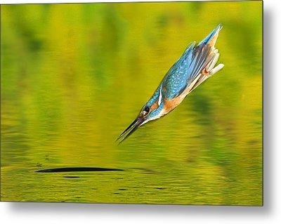 Adult Male Common Kingfisher, Alcedo Metal Print by Joe Petersburger