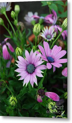 Metal Print featuring the photograph African Daisy by Eva Kaufman
