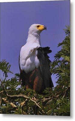 African Fish Eagle Metal Print by Richard Matthews