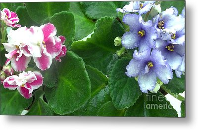 African Violets Intertwined I Metal Print by Nancy Mueller