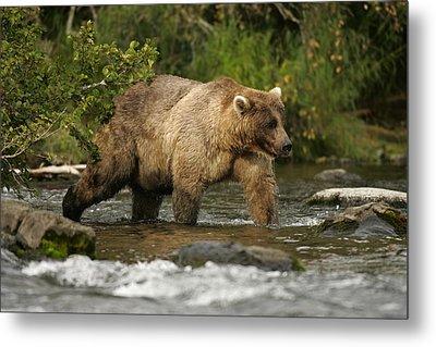 Alaskan Brown Bear Ursus Arctos Walking Metal Print by Roy Toft
